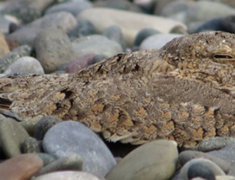 Egyptian Nightjar in Georgia