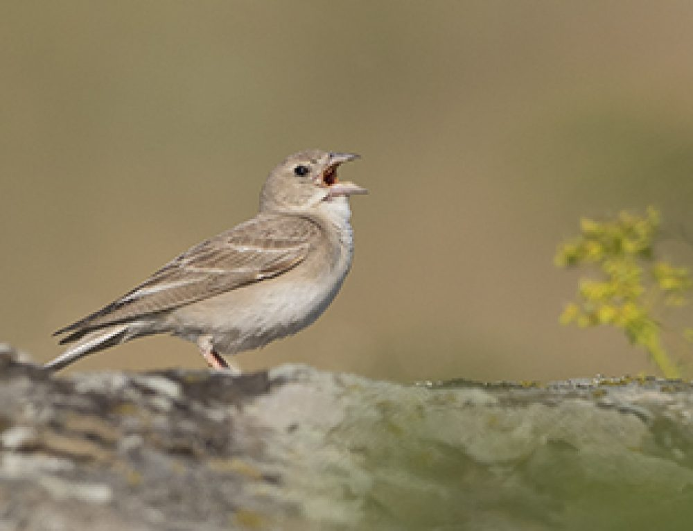 Massive Influx of Pale Rockfinches